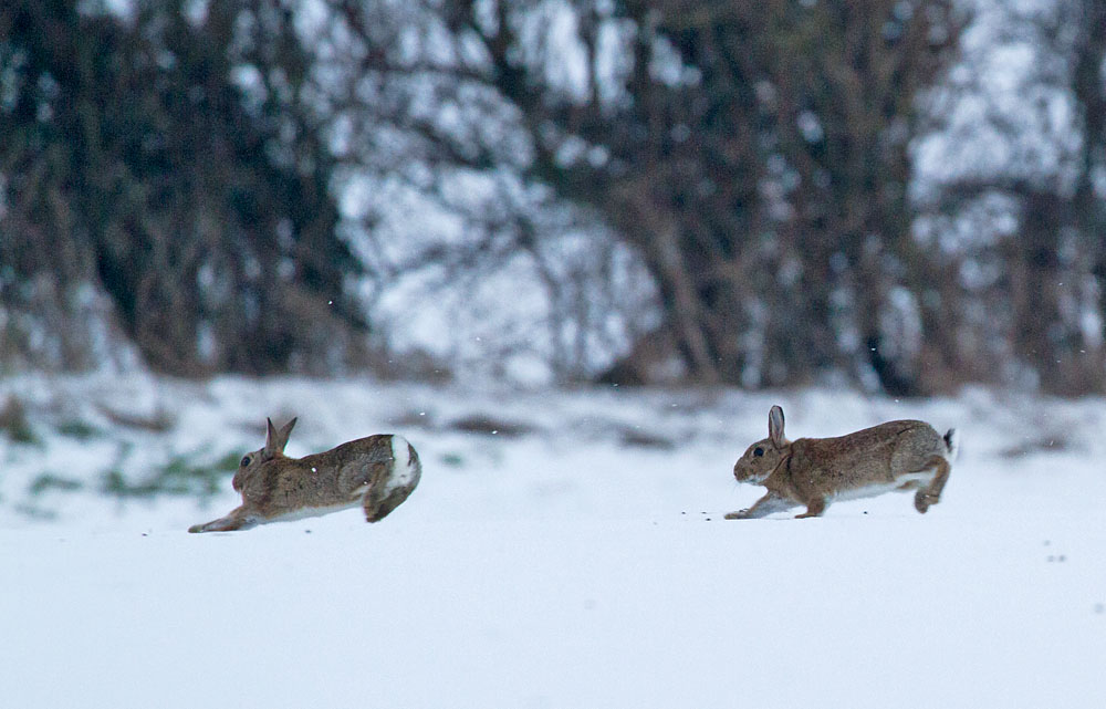 rabbit_snow_0902126312