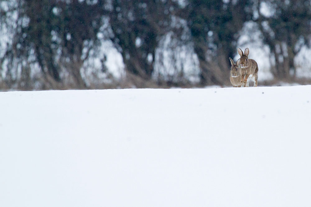 rabbit_snow_0902126322