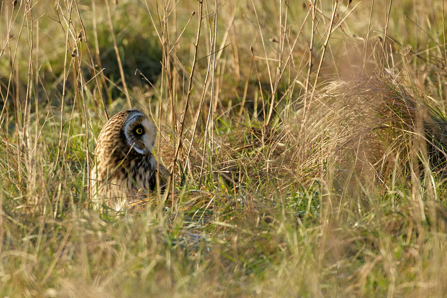 Short Eared Owl at Sheepcote Valley, Brighton, East Sussex