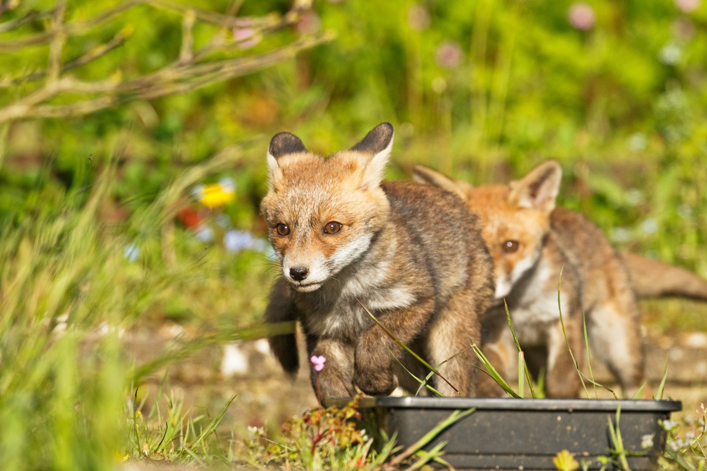 The fox cubs enjoy the afternoon sunshine, minded by Pretty Vixen (a 'helper' vixen) who is just over a ear old and is probably a half-sister to this brood.