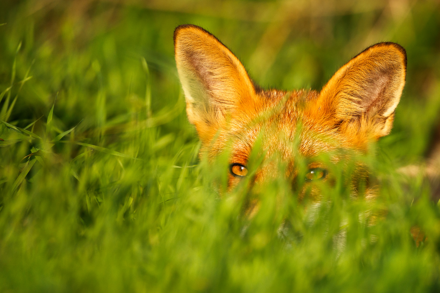 Young male fox laying down in loing grass, Brighton, East Sussex