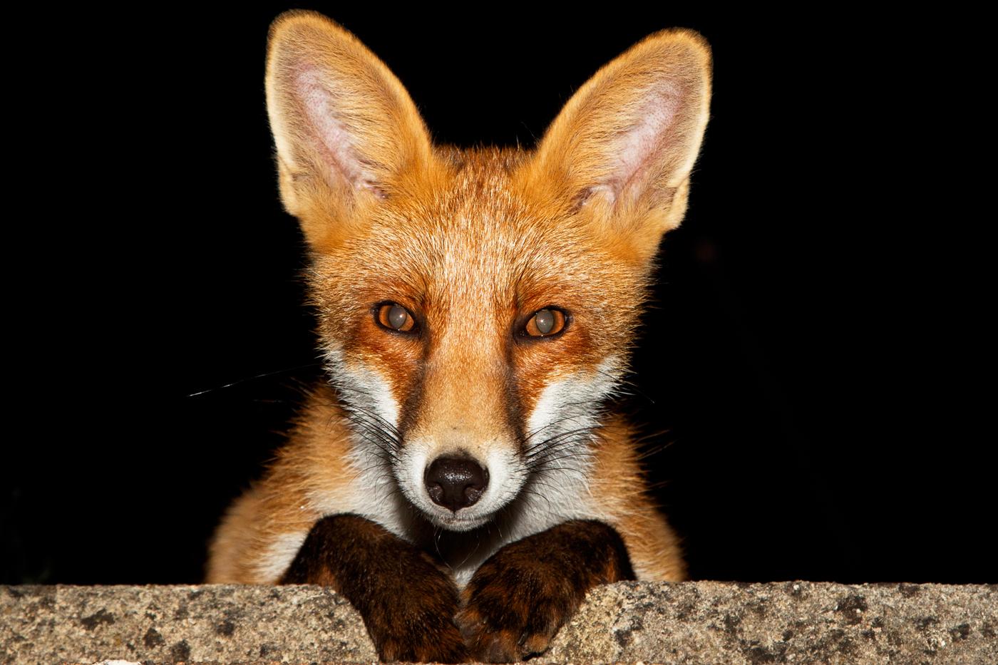 Young fox at night (Long Nose)