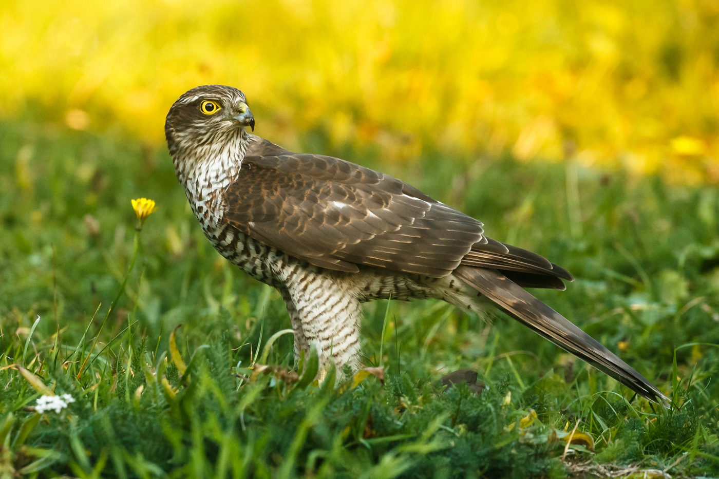 Sparrowhawk devouring prey (starling or pigeon?) in garden