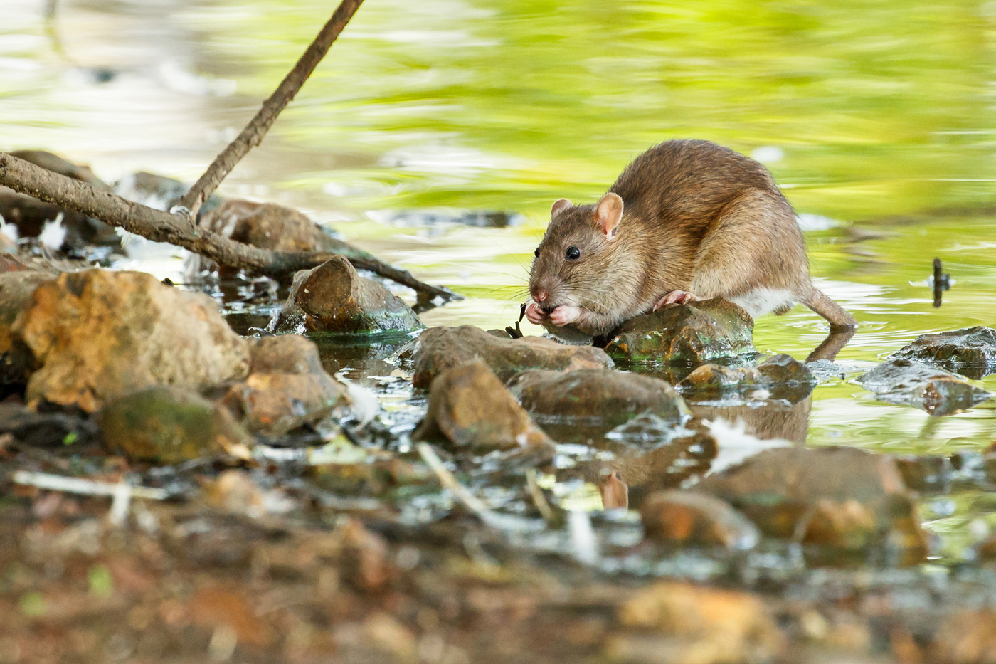 Rat at Falmer Pond, East Sussex