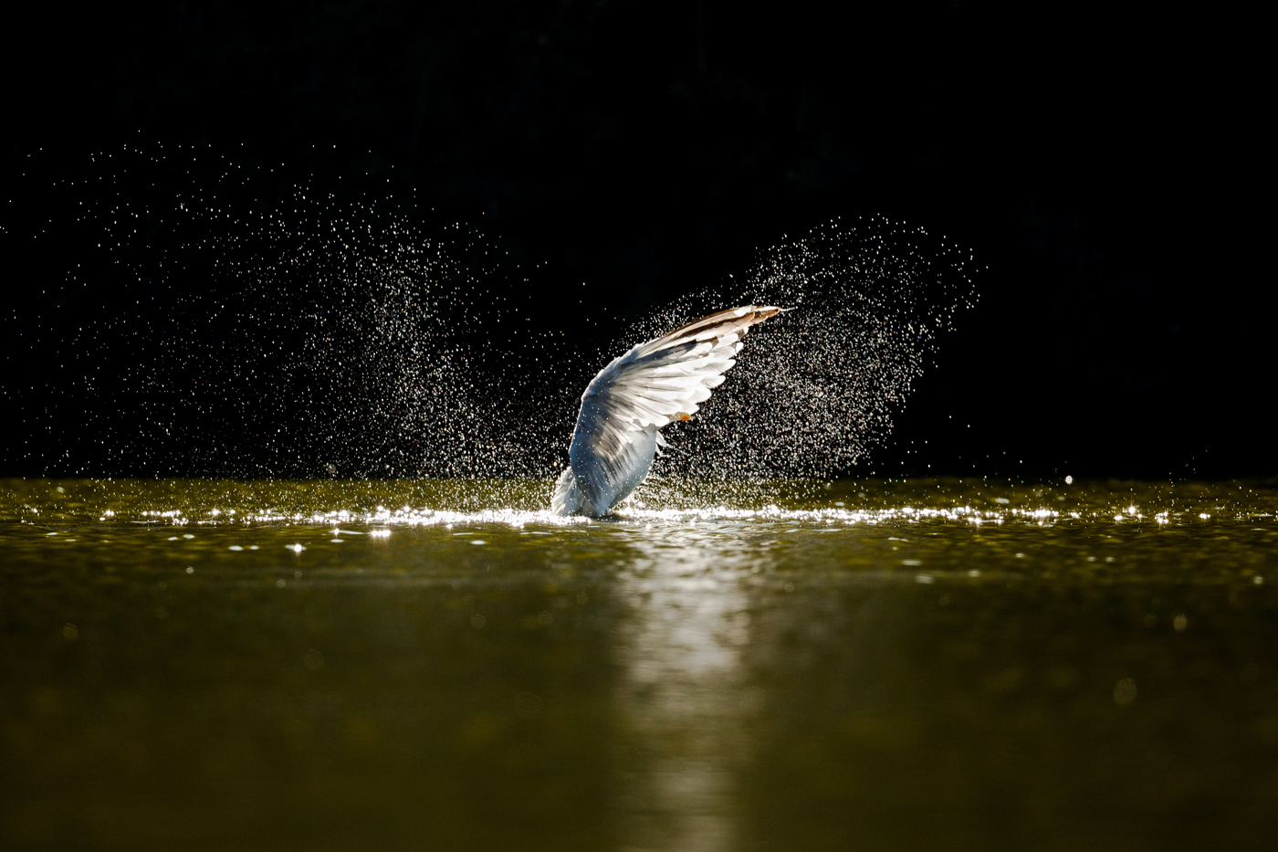Herring gull splashing to remove moult down and dust in Falmer Pond, East Sussex