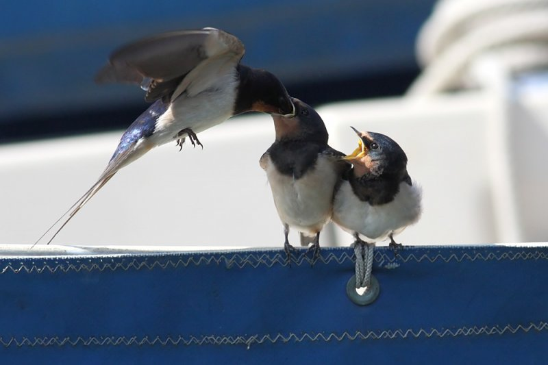 swallow_0807091986