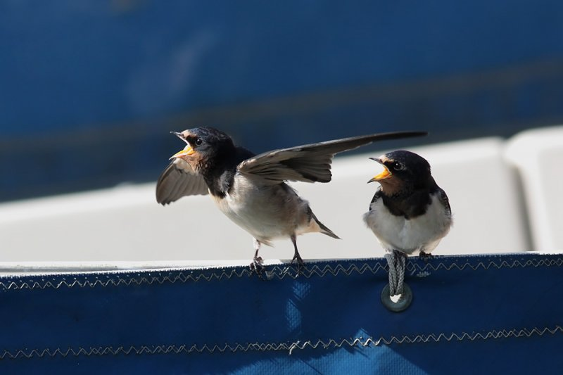 swallow_0807092039