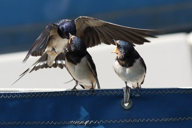 swallow_0807092060