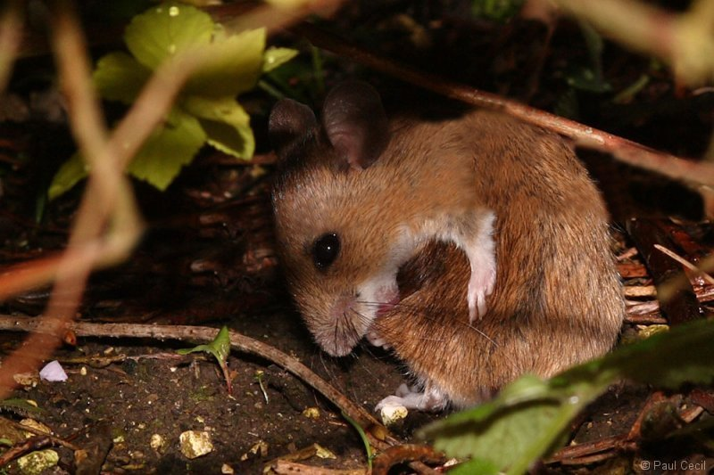 woodmouse_0504081557_b