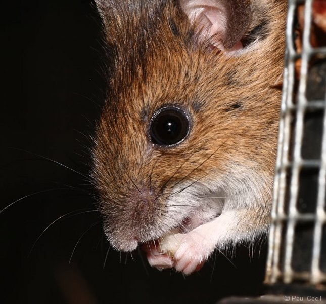 woodmouse_0703087976