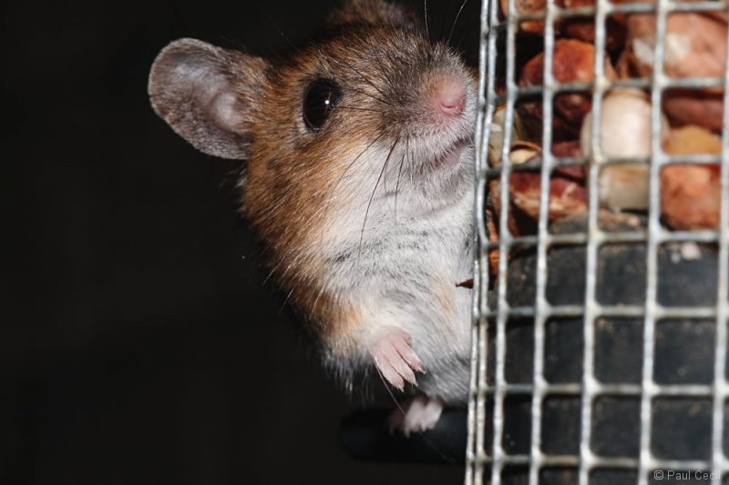 woodmouse_0703087980