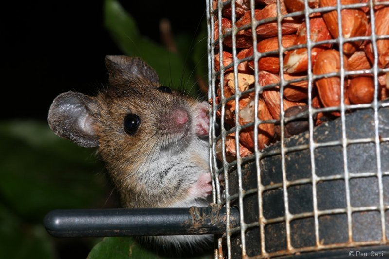 woodmouse_1407093255