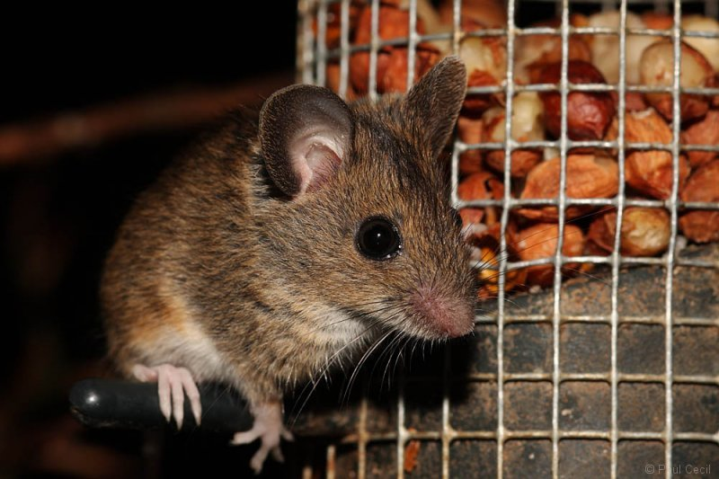woodmouse_2204090780