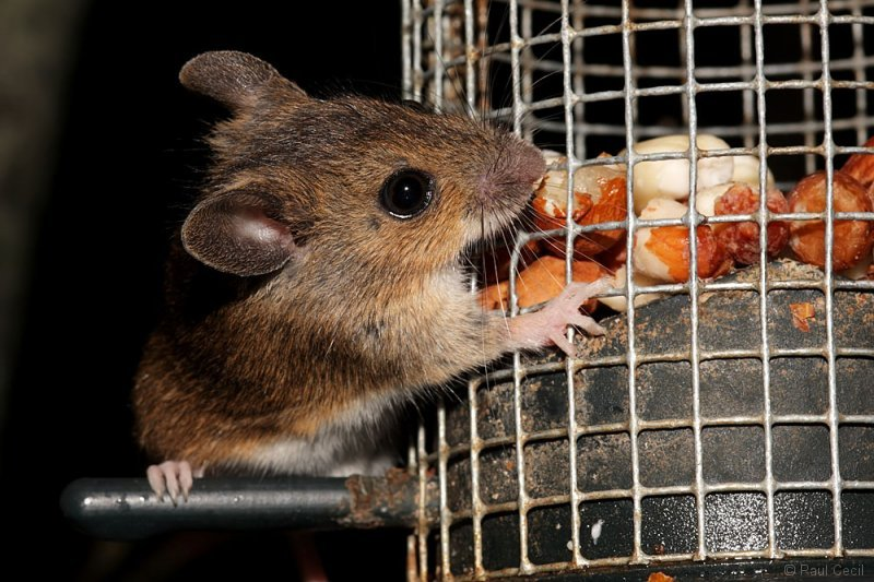 woodmouse_2704091677