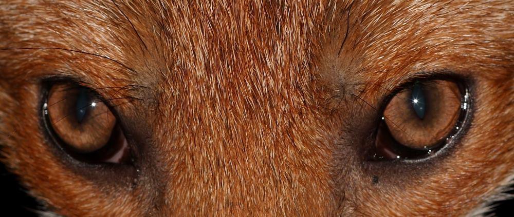 name fox eyes - photo #47