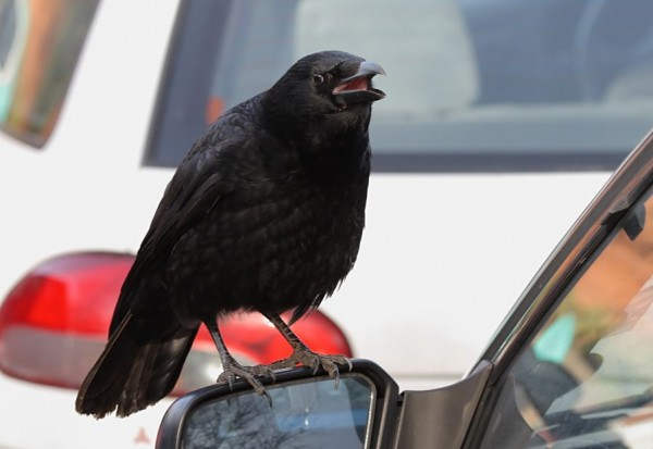 crow and wing mirror