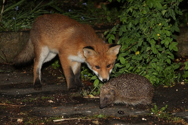 The Fox Cub And The Hedgehog Photo Sequence