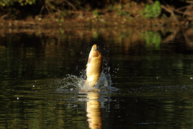 Rats raptors and a leaping carp at falmer pond for Martins fish house