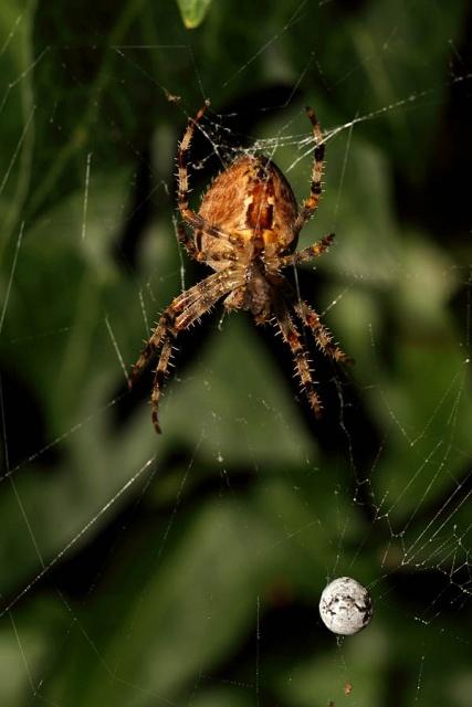 Garden spider with egg sac for Garden spider egg sac