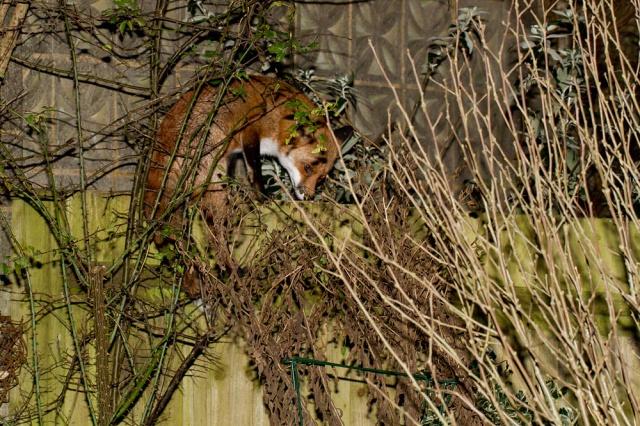fox climbing fence