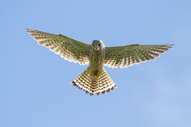 On My Way Back I Spotted A Kestrel And Parked Up To Watch It Here Are Couple Of Shots Hovering