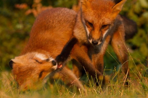 two young foxes