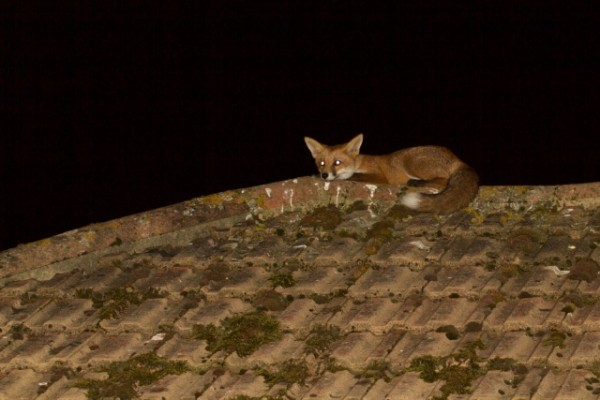 fox on roof at night