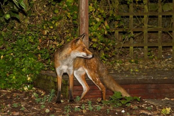 fallow fox