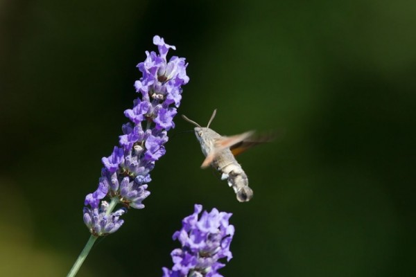 Hunningbird hawk moth