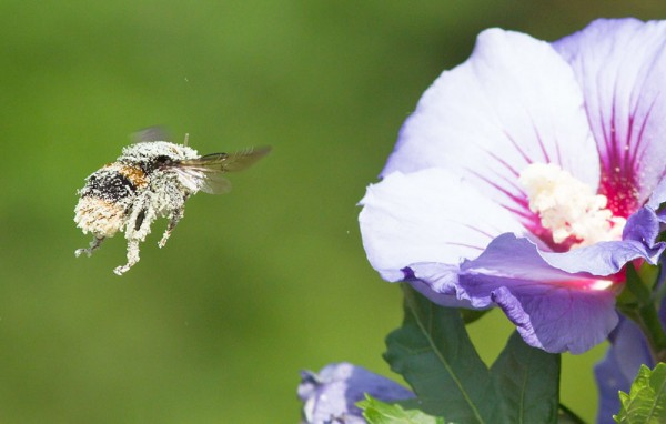 Bee on hibiscus covered in pollen