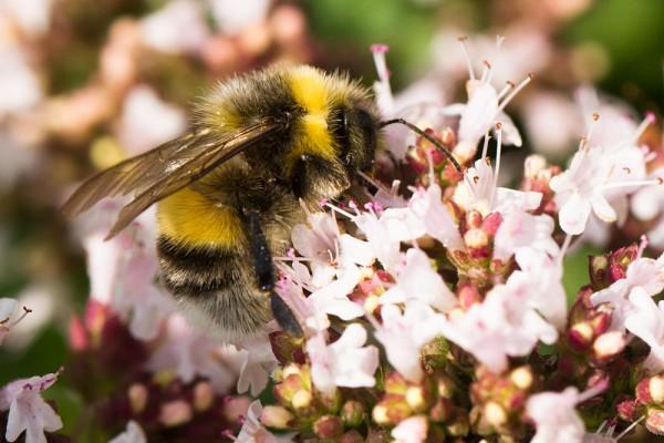 Bee on wild marjoram
