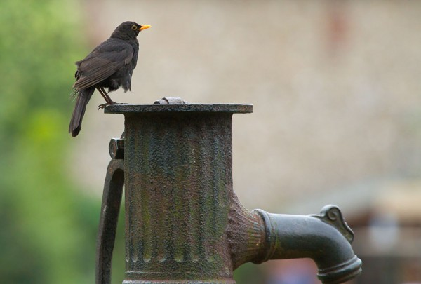 Blackbird perched on iron water pump, Falmer, East Sussex