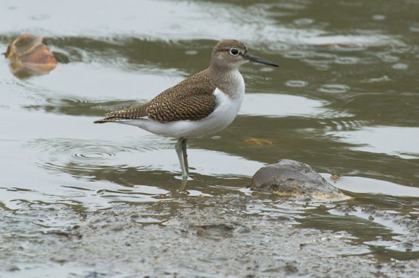 Common sandpiper (Actitis hypoleucos) at Falmer Pond, East Sussex