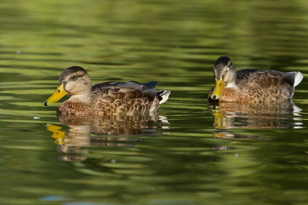 Ducks at Falmer Pond,