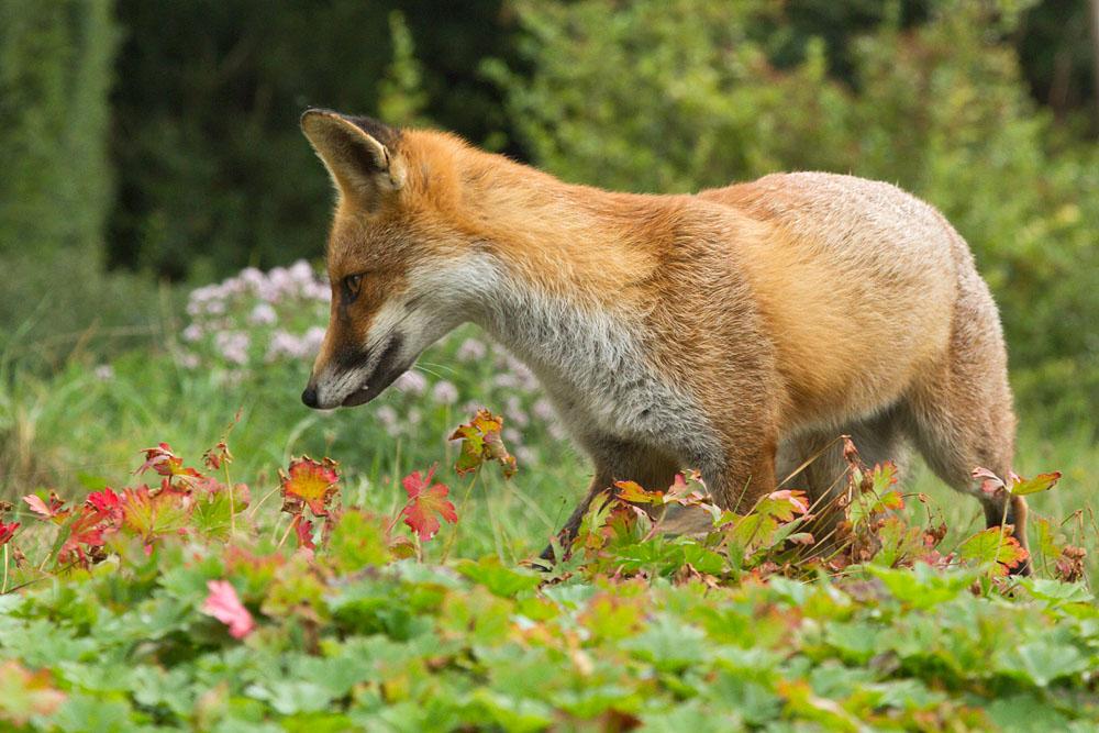 Young fox in a suburban garden