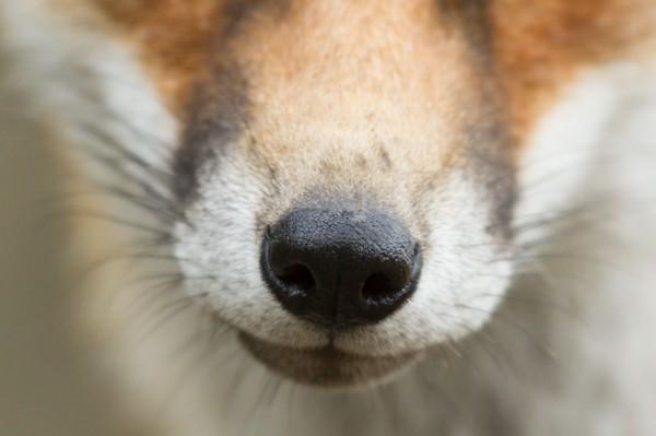 Nose of fox