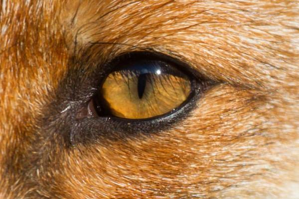 Eye of fox