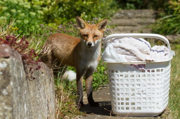 Fox cub next to washing basket in suburban garden