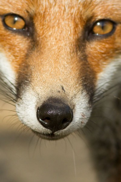 Close up of fox nose and eyes