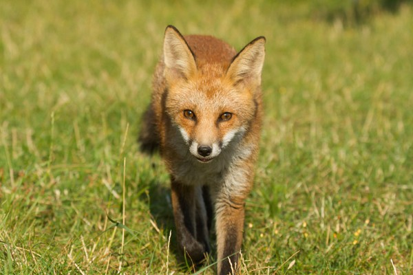 Fox cub walking directly to camera on grass