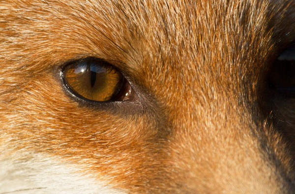 Close up head shot of fox cub showing eye