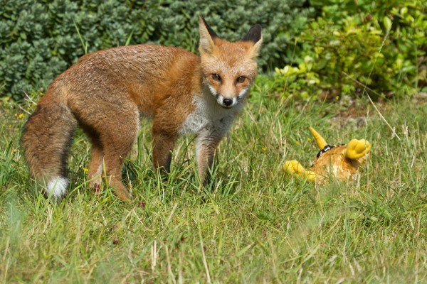 Portrait of a five month old fox cub standing over stolen toy bird