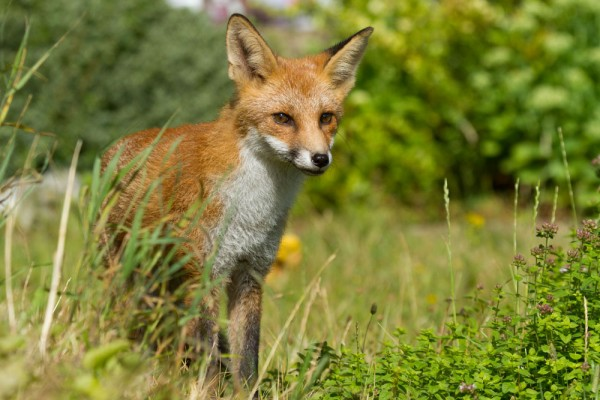 Portrait of a five month old fox cub standing in long grass