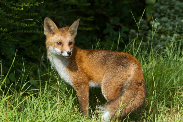 Portrait of a five month old fox cub standing with tail (brush) curled.