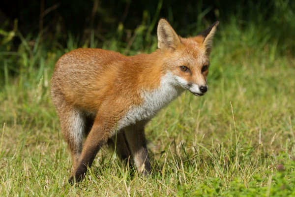 Portrait of a five month old fox cub turning.