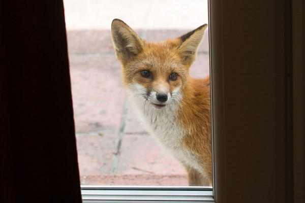 Fox cub peering into a house through a patio door.