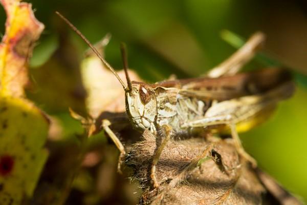 Common grasshopper