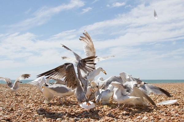 Flock of greedy herring gulls, Hove, East Sussex