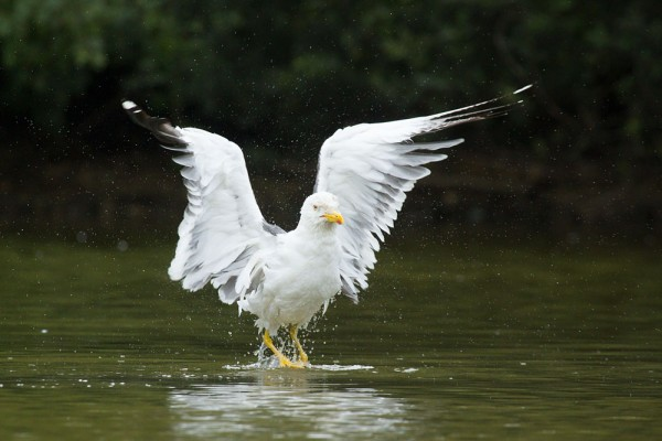 Lesser black-backed gull (Larus fuscus) at Falmer Pond, East Sussex
