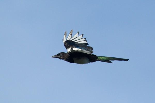 Juvenile magpie (Pica pica) in flight